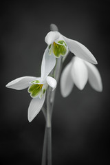 Snowdrops (Jez22) Tags: photography jeremysage galanthus nivalis flowers beautiful weather spring snowdrop galanthusnivalis white green floral flora winter nature outdoor flowering wildflower blooming copyright colour springtime selective