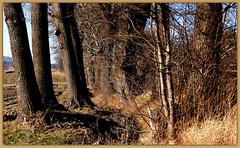 Drzewa. (andrzejskałuba) Tags: poland polska pieszyce dolnyśląsk silesia sudety europe plant plants panasonicdmcfz200 lumix mountainsofowls mountains natura nature natural natureshot natureworld niebieski niebo naturephotographer nopeople beautiful beauty blue beautyofnature brown brązowy color cień colour cienie view widok zieleń green grass gałązka krzewy sky shadow shrub day drzewa drzewo domy trawa trees tree twig zima winter 1000v40f
