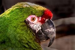 Macaw 3-0 F LR 2-3-20 J163 (sunspotimages) Tags: animal animals bird birds macaw macaws nature wildlife zoo zoos marylandzoo baltimorezoo marylandzooinbaltimore