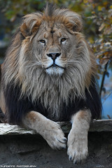 African lion - Pakawipark (Mandenno photography) Tags: animal animals dierenpark dierentuin african dieren zoo ngc nature natgeo natgeographic discovery bigcat big cat cats lion lions olmense olmensezoo olmen pakawi park pakawipark balen belgie belgium