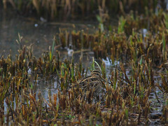 The Beautiful Snipe (Adam Swaine) Tags: snipe rspb birds littlebirds englishbirds britishbirds naturelovers nature naturereserve britain british canon uk ukcounties wetlands sussex westsussex counties countryside flora waterside waders 2020 adamswaine county wwt gallinagogallinago