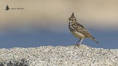 Cogujada montesina (Galerida theklae) (jsnchezyage) Tags: cogujadamontesina galeridatheklae ave pájaro bird birding birdwatching ornithology beak feather theklalark