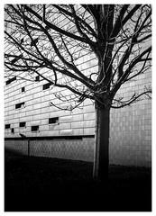 Tree Study (Dave Button) Tags: mono monochrome bw bnw blackandwhite fuji fujifilm xpro2 35mm border shadow shadows light shade universityofnottingham jubileecampus wall urban city