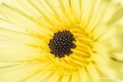 Variations autour du jaune (faerlynn) Tags: fleur jaune botanique nature etamines couleur macrophotographie proxiphotographie macro proxi plante teinte chaude flower yellow botanic pics image macrophotography