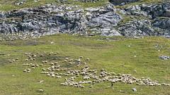 Le gardien (dominique 15) Tags: pyrenees berger troupeau pourtalet