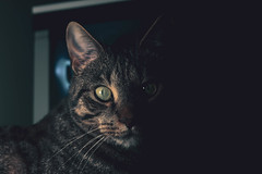 Mittens (JaaniicB) Tags: pancake flickrfriday pets mittens canon eos 77d 40mm f28 dark twoface cat domestic animal lamp light