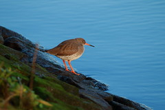 redshank (jon lees) Tags: redshank wader bird river lagan belfast northernireland co antrim