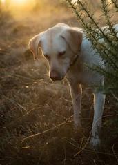 Watching (aveyardphotography) Tags: sunset yellow lab labrador retriever dog closeup bokeh animal pet moors outdoors moorland light sunlight looking watching
