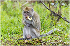 Male Mauritian Crab Eating Macaque (Macaca Fascicularis) (Sharon Emma Photography) Tags: mauritiancrabeatingmacaque mauritianmacaque mauritianmonkey wildmonkey macacafascicularis monkey longtailedmacaque cercopithecine primate southeastasia dutchsailors matrilinealsocialgroups femaledominance hierarchy cynomolgus mauritiancynomolgusmonkey mammal cercopithecidae simiiformes haplorhini animal mauritius maurice republicofmauritius island indianocean africa mascareneislands french dutchcolony perfect paradise desertedparadise sunlight sun pictureperfect picturesque view nature naturalworld wildlife wild ngc beautiful pretty ideal stunning peaceful nikon nikond7200 d7200 sharonemmaphotography sharongoldring sharonemmagoldring sharondowphotography sharondow february2018 2018 wintersun holiday travelling abroad