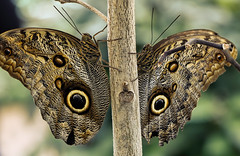 Owl eyes (*Millie* (On and Off)) Tags: owlbutterfly butterfly owl eyespots nymphalidae caligoeurilochus pattern tiger stripes insect wings