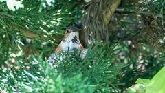 Allens' Hummingbird (f) (Bob Gunderson) Tags: allenshummingbird birds botanicalgardens california goldengatepark hummingbirds northerncalifornia sanfrancisco selasphorussasin