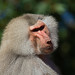 what do you want - Hamadryas baboon (Papio hamadryas) - Paignton Zoo, Devon - Sept 2019