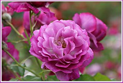 ...sweet dreams! (MEA Images) Tags: roses flowers gardens blooms flora nature parks pointdefiancepark rosegardens tacoma washington canon picmonkey
