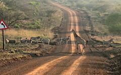On the way to Mkhuze GR from African Spirit lodge (xd_travel) Tags: 2015 kwazulunatal southafrica wildlife wildanimal safari giraffe zebra