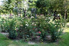 🇧🇬 Rose shrub / Розов храст (mitko_denev) Tags: bulgaria bulgarien българия kazanlak казанлък рози роза rose roses flower цвете