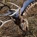 White-tailed Deer Skeleton (Salford Twp.)