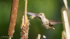 Anna's Hummingbird (Bob Gunderson) Tags: annashummingbird birds botanicalgardens california calypteanna goldengatepark hummingbirds northerncalifornia sanfrancisco