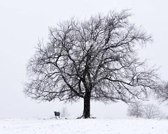 081002052020 (bassgal71/Sarah Rodefeld) Tags: oklahoma blackandwhite tree nature outdoors cow oklahomawinter sarahrodefeldphotography