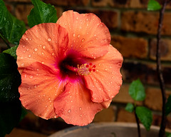 Summer Rain (armct) Tags: hibiscus cultivar flower bloom rain overnight summer goldcoast queensland garden pot domestic home raindrops shower colour orange purple magenta potplant shrub