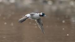 Bufflehead  7349 (Paul McGoveran) Tags: bif bird birdinflight bufflehead duck hamiltonharbour nature nikon500mmf4 nikond850 ontario windermerebasin wings