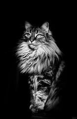 Amy en hiver. (LACPIXEL) Tags: chat hiver cat gato pet animal mascota invierno winter portrait retrato lumièrenaturelle naturallight luznatural nikon nikonfr flickr lacpixel amy amyff
