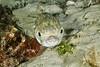 Globefish.