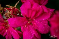In the garden-02660.jpg (stephan.martos) Tags: fleur flower garden jardin macro minolta 100mm f28 sony a7 marsillargues