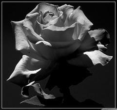Róża B&W. (andrzejskałuba) Tags: plants plant europe poland polska sudety silesia roślina rośliny pieszyce dolnyśląsk roses bw black macro nature monochrome beautiful beauty rose blackwhite natural natura róża róże biały beautyofnature flowers white flower floral garden flora day outdoor nopeople kwiaty kwiat natureshot ogród natureworld naturephotographer nikoncoolpixb500 shadow sky spring czarny cień wiosna niebo queenrose 100v10f 1000v40f 1500v60f