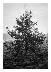 FILM - Backlit tree (fishyfish_arcade) Tags: 35mm analogphotography bw blackwhite blackandwhite filmphotography filmisnotdead hp5 istillshootfilm monochrome nikkor2880f3556afd nikonf80 analogcamera film ilford mono tree rothervalley