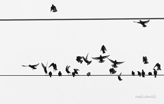 Let's twist again (roelivtil) Tags: starlings spreeuwen wire wireofelectricity electriciteitsdraad vogels birds