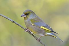 Greenfinch (KHR Images) Tags: greenfinch chlorischloris wild bird norfolk wildlife nature nikon d500 kevinrobson khrimages