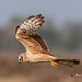 A Montagu's Harrier in Survey mode
