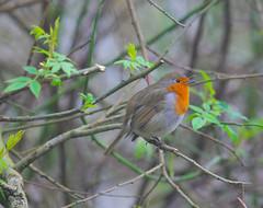 European robin (Adam Swaine) Tags: robin robinredbreast robins birds littlebirds englishbirds britishbirds wildlife naturelovers nature naturewatcher rspb england english woodland sussex westsussex trees flora uk ukcounties canon adamswaine 2020 walks