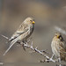 Twite (Carduelis flavirostris)