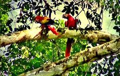 MEXICO, Las Guacamayas, direkt am Rio Lacantún, mitten im Dschungel, rote Aras hoch oben in den Baumkronen, 19514/12356 (roba66) Tags: urlaub reisen travel explore voyages rundreise visit tourism roba66 mexiko mexico mécico méjico nordamerika northamerica zentralamerika yukatanhalbinsel 2017 chiapas ara papagei roterara vogel vögel bird birds oiseaux textur texture effecte wild wildlife nature natur naturalezza fauna dschungel