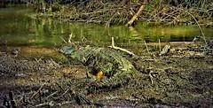 MEXICO, Las Guacamayas, direkt am Rio Lacantún, mitten im Dschungel, Krokodile nur schwer zu erkennen 19510/12352 (roba66) Tags: urlaub reisen travel explore voyages rundreise visit tourism roba66 mexiko mexico mécico méjico nordamerika northamerica zentralamerika yukatanhalbinsel 2017 chiapas tier tiere animal animals creature fauna krokodil reptil wild wildlife nature natur naturalezza dschungel