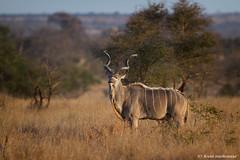 Kudu bull (leendert3) Tags: leonmolenaar southafrica krugernationalpark wildlife wilderness wildanimal nature naturereserve naturalhabitat mammal kudubull