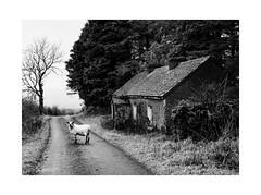 (osh rees) Tags: ireland leitrim manorhamilton sheep cottage abandoned fuji xpro 2 35mm xf f2 wr landscape mono black white