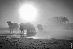 Once morning ... (N.Batkhurel) Tags: season winter sun sunrise animals cows bush fog river ngc nikon nikond5200 nikkor 24120mm mongolia bw