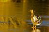 24 04 Duck on ice, by StephenJones