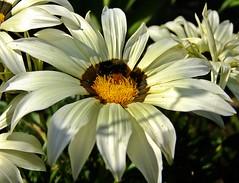 Friday's Flower - Gazanie (fleckchen) Tags: gazanien gazanie mittagsgold weiss insekten biene hummel garten sommer blumen blüten flower blooms blossoms blumenblüten