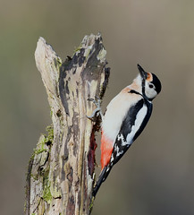 Pic épeiche (Guillaume Dardant) Tags: nature sauvage oiseaux bird picidés forêt bois loiret d850 500mmf4 nikon picépeiche piciformes dendrocoposmajor affût greatspottedwoodpecker