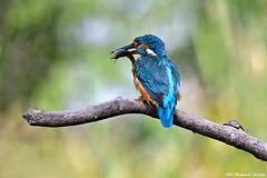 Martin pescatore _068 (Rolando CRINITI) Tags: martinpescatore uccelli uccello birds ornitologia avifauna castellapertole natura