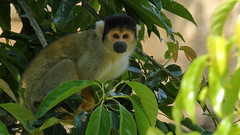Saimiri boliviensis 黑冠松鼠猴 Black-capped squirrel monkey (YoyoFreelance) Tags: saimiri boliviensis 黑冠松鼠猴 blackcappedsquirrelmonkey taipeizoo 臺北動物園 臺北市立動物園