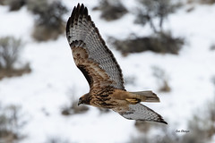 Red-tailed Hawk (Buteo jamaicensis) (stitchersue) Tags: redtailedhawk hawk rufous soaring winter okanagan britishcolumbia canada