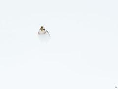 ''Minimaliste!'' Plectrophane des neiges-Snow bunting (pascaleforest) Tags: oiseau bird animal nikon nature wild wildlife faune québec canada