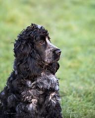 Gazing (Through Bri`s Lens) Tags: sussex lowena cockerspaniel blueroancockerspaniel brianspicer dog joy love