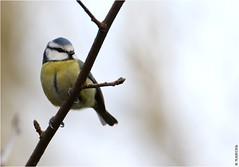 Mésange bleue (boblecram) Tags: oiseau sauvage wild nature bird passereau mésange bleue cyanistes caeruleus aves