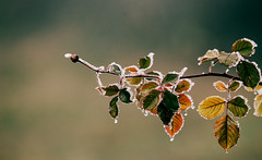 Winter flora (Inka56) Tags: winter rosebud leaves frost cold rose frosting