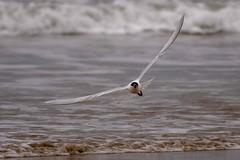 Maman ! Je plane ! (Patrick Doreau) Tags: flight vol planer planeur oiseau bird sterne caugek star mer seau bretagne brittany plage beach villeberneuf pléneufvalandré